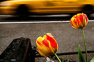 Parrot tulips and NY taxi along 29th Street. New York, NY
