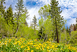 """Mule Ears Wildflowers 1"" - Photograph of Mule Ears wildflowers, aspen trees, and pine trees. Shot near ""The Shack"" near the summit of HWY 267, in between Truckee and Lake Tahoe."