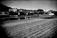 "Paddy field of 83 year old farm is surrounded by residential development as this western Tokyo community has been transformed from a rural to a suburban settlement, Naganuma, Tokyo, Japan.  When asked whether his son continues farming, he responded that his son has a ""money job"".  Financial incentives have steadily drawn the younger generations of Japanese away from the rural life."