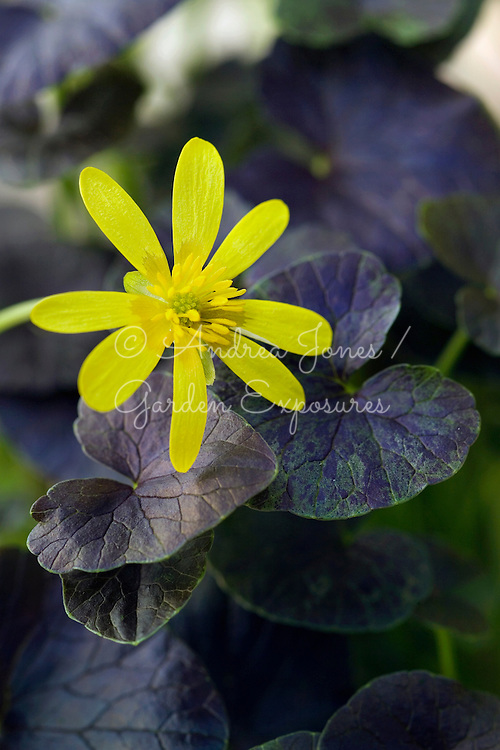 Ranunculus ficaria 'Brazen Hussy', Lesser Celandine. Yellow flowering perennial with chocolate dark brown leaves