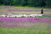 Sheep herd near the village of Gubin, and the shepherd: an old lady, one of the few people living in the middle-northern side of the Livansko Polje. Meadows with flowering sticky catchfly (Silene viscaria). This is an area that was affected by Balkan war (1991-1995) Livansko. May 2009. Bosnia-Herzegovina. <br /> No model release form: I was alone and the lady speaking local language only.<br /> Elio della Ferrera / Wild Wonders of Europe