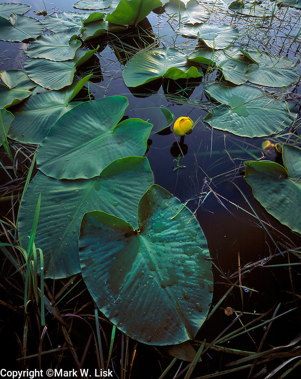 Sun strikes the lilly pads while they bloom amoung the waters along the little Salmon River near New Meadows, Idaho.