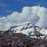 White-tail ptarmigan. Logan Pass, Glacier National Park, Montana.