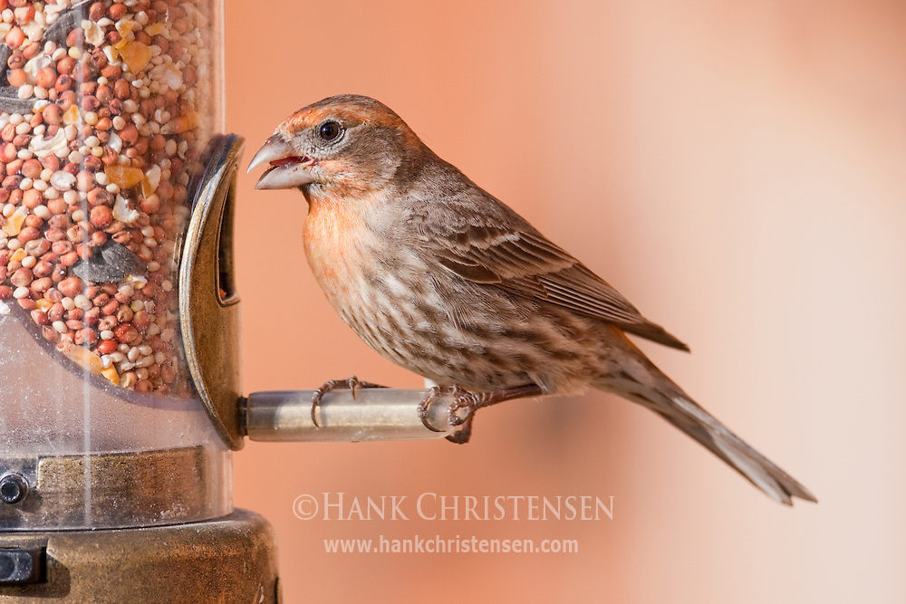 A house finch perches on a bird feeder, eating seed