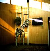 Warsaw Zoo, Poland, 12/12/2009. Giraffa Camaleopardalis (Linnaeus, 1758).
