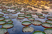 Giant water lillies (Victoria amazonica) from Porto Jofre, Pantanal, Brazil.
