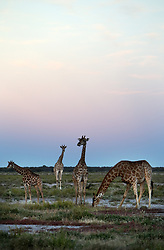 NAMIBIA ETOSHA 30APR14 - Angolan giraffes  near Namutoni, Etosha National Park, Namibia.<br /> <br /> <br /> <br /> jre/Photo by Jiri Rezac<br /> <br /> <br /> <br /> © Jiri Rezac 2014