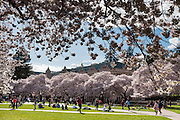 "Cherry trees flower in early April at UW Savery Hall in Seattle, Washington, USA. The Yoshino cherry trees on ""the Quad"" (Liberal Arts Quadrangle) of the University of Washington were a senior gift from the class of 1959. The trees were rescued from a construction site for the Evergreen Point Floating Bridge and moved to campus in 1964."