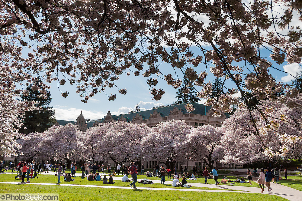 """Cherry trees flower in early April at UW Savery Hall in Seattle, Washington, USA. The Yoshino cherry trees on """"the Quad"""" (Liberal Arts Quadrangle) of the University of Washington were a senior gift from the class of 1959. The trees were rescued from a construction site for the Evergreen Point Floating Bridge and moved to campus in 1964."""