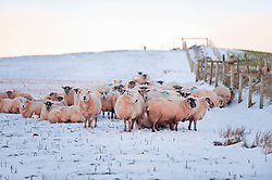 © London News Pictures. 30/01/2015. Mynydd Epynt, Powys, Wales, UK. Ewes wait for food. There is snow on land above 300 metres with a wind chill giving a 'Feels Like' temperature of about minus 8 degrees celcius on the Mynydd Epynt moorland range of hills in Powys, Mid Wales. Photo credit : Graham M. Lawrence/LNP.