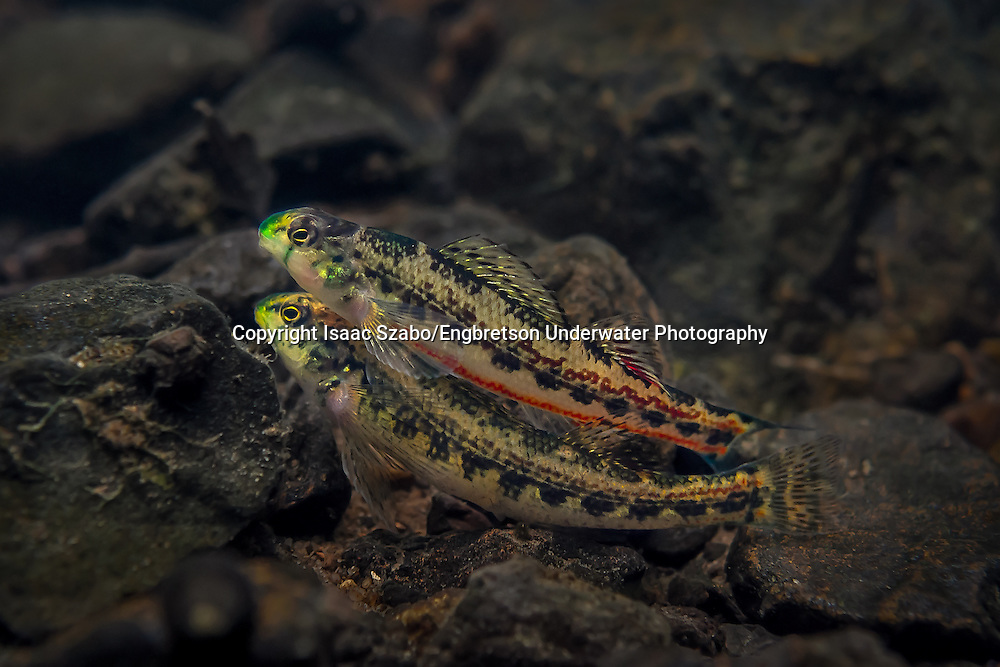 Cherry Darter<br />