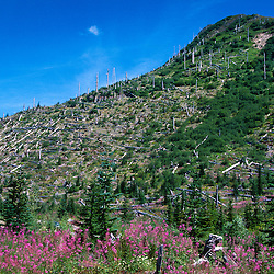 Fireweed (Epilobium angustifolium) and Standing Dead Trees near Ryan Lake, Mt. St. Helens National Volcanic Monument, Washington, US