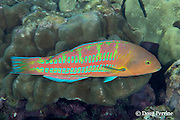 Christmas wrasse, green-barred wrasse, green-blocked wrasse, ladder wrasse, or 'awela, Thalassoma trilobatum, terminal phase or supermale, Kahaluu Beach Park, Kona Coast, Hawaii Island ( the Big Island ) Hawaiian Islands ( Central Pacific Ocean )