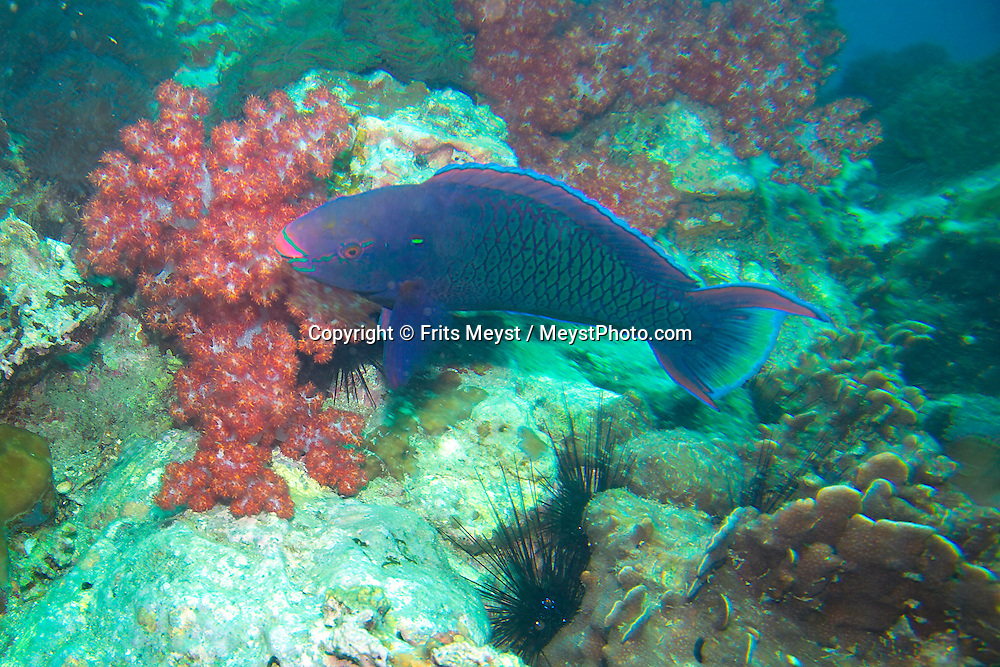 Pulau Besar, Perhentian Islands, Malaysia, April 2006. A swarthy parrotfish in Tokong Laut.  diving off the Perhentian Islands one can see lots of big and small marine life and various sorts of hard and soft corals. Photo by Frits Meyst/Adventure4ever.com