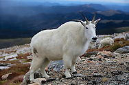 Mountain goat profile in the Mount Evans Wilderness, Colorado