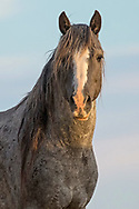 Although Washakie will always have my heart, there's something special about the stallion, Booker Rose. As long as I've known him, he's always been one of the wildest horses at the Peaks, spending most of his time on the far east side of the range where very few people visit. When I look into his eyes, I see a proud, fearless warrior who will always remain a mystery to me.