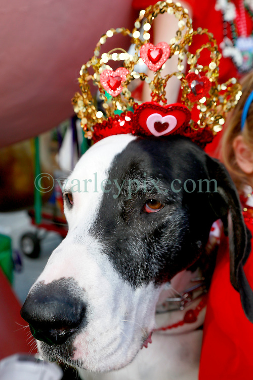 27 Jan 2013. New Orleans, Louisiana USA. .The Mystic Krewe of Barkus. Queen of Barkus, Hattie the dog. Following the theme 'Here Comes Honey Bow Wow,' the parade parodies a popular media title as dogs and their owners parade through the French Quarter in one of the most irreverent parades of the season..Photo; Charlie Varley