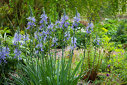 Camassias in the woodland garden at Glebe Cottage