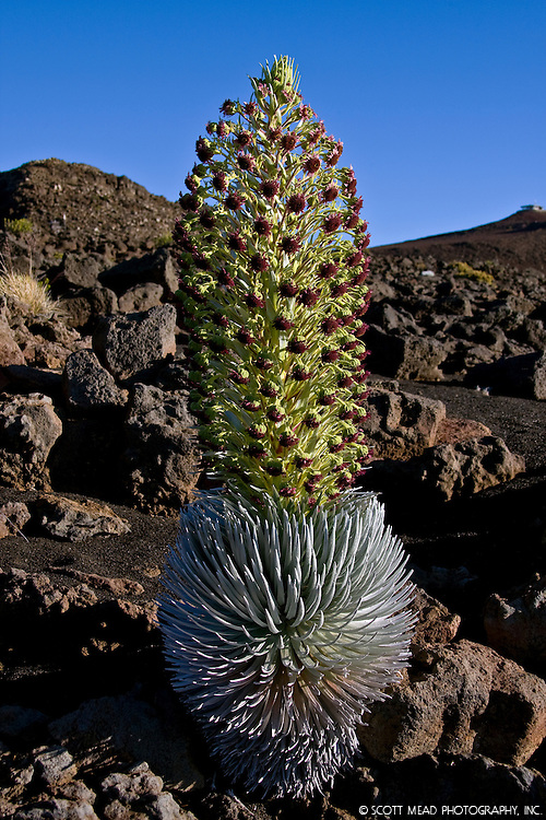 A rare Silversword plant blooms on the slopes of the dormant Haleakala volcano on Maui, Hawaii.