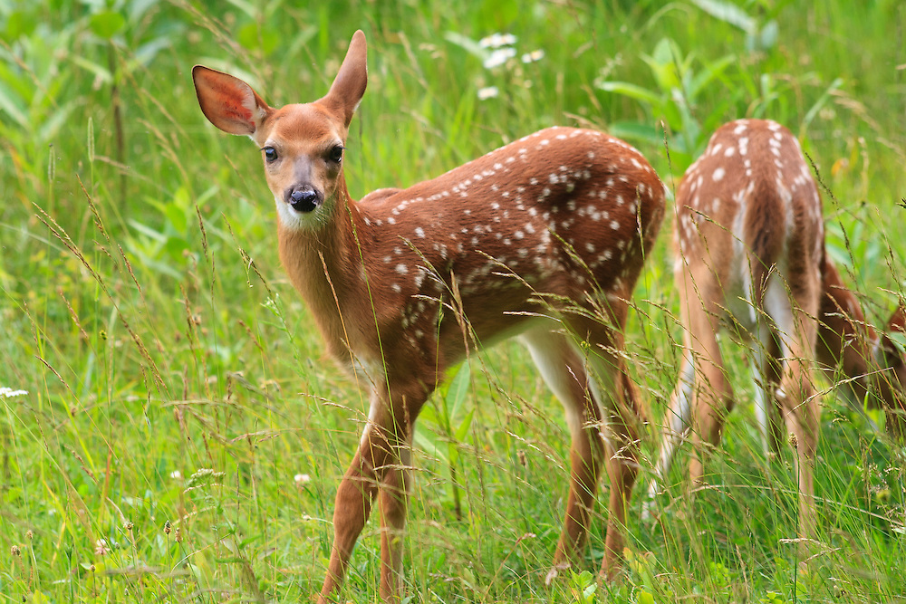 A pair of white-tailed deer (Odocoileus virginianus) fawn twins forage on the Big Meadow, Shenandoah National Park, Virginia.