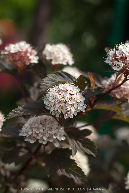 Coppertina ninebark (Physocarpus opulifolius 'Mindia')