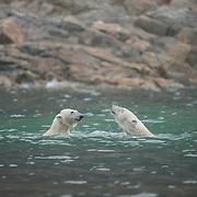 Polar bears (Ursus maritimus) playing in the water around Svalbard, Norway.