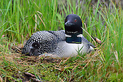Loon chick peaking head out from under adult's wing.