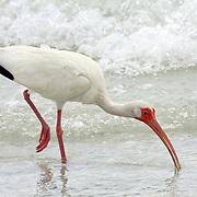 White Ibis feeding in surf