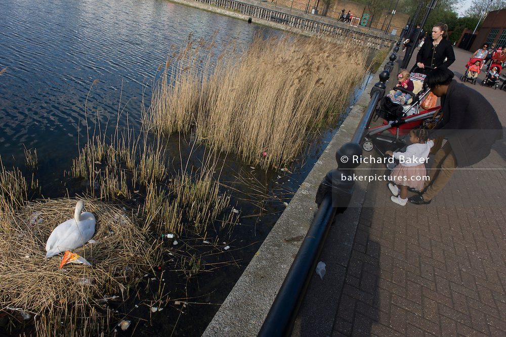 Young locals watch a female mute swan (pen) incubating her eggs on a nest in an urban water basin.