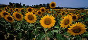 Field of Sunflowers, Helianthus annuus, from southern France