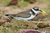 Common Ringed Plover juvenile Anini Beach Park Kauai Hawaii