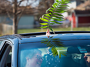 """05 APRIL 2020 - DES MOINES, IOWA:  People wave palms through the sunroof of their car during a drive through Palm Sunday service sponsored by Luther Memorial Church on the campus of Grand View University in Des Moines. About 150 people attended the service. They remained in their cars while the ministers read a short passage from the Bible, handed out palms and blessed them. On Sunday, 05 April, Iowa reported 868 confirmed cases of the Novel Coronavirus (SARS-CoV-2) and COVID-19. There have been 22 deaths attributed to COVID-19 in Iowa. Restaurants, bars, movie theaters, places that draw crowds are closed until 30 April. The Governor has not ordered """"shelter in place"""" but several Mayors, including the Mayor of Des Moines, have asked residents to stay in their homes for all but essential needs. People are being encouraged to practice """"social distancing"""" and many businesses are requiring or encouraging employees to telecommute.       PHOTO BY JACK KURTZ"""
