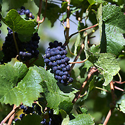 Pinot Noir grapes on the vine at The Gibbston Valley vineyard in Gibbston Valley, Central Otago. The winery includes a cave which has been blasted out of the solid schist of the Central Otago mountains, and creates an ideal natural environment to mature award-winning wines, Gibbston Valley Wines,  Queenstown, Central Otago, New Zealand. 23rd March  2011. Photo Tim Clayton.
