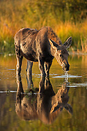 Moose of Grand Teton National Park often gather in the ponds along Moose-Wilson Road. These ponds not only offer respite from the heat during high summer but provide moose with much needed forage through the end of autumn when the ponds eventually freeze.