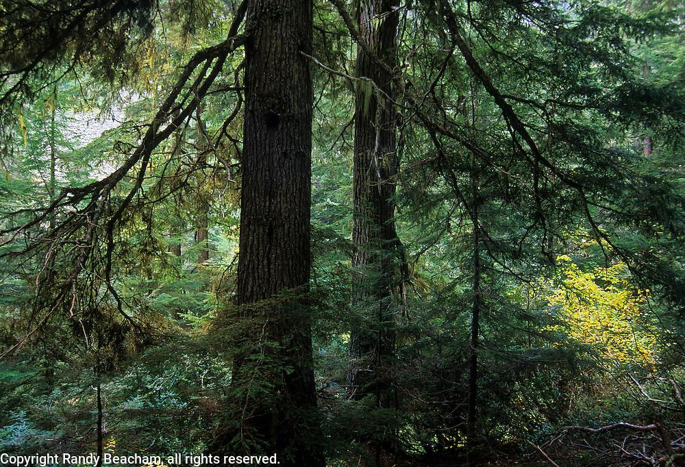 Western Hemlock trees along Spar Creek in the Sctochman Peaks Roadless Area. Cabinet Mountains, Monana