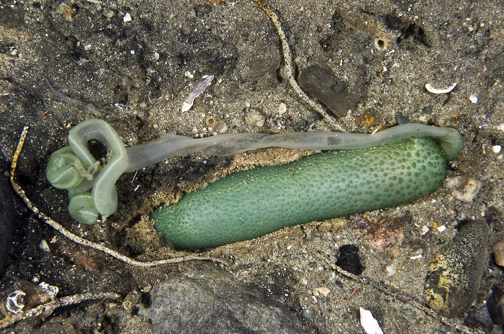 Green Spoonworm (Bonellia viridis). Location: Lysefjorden, Norway