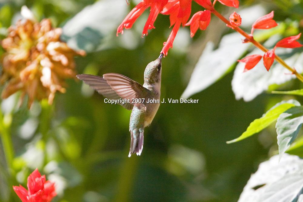 Ruby-throated Hummingbird, Archilochus colubris, female, feeding