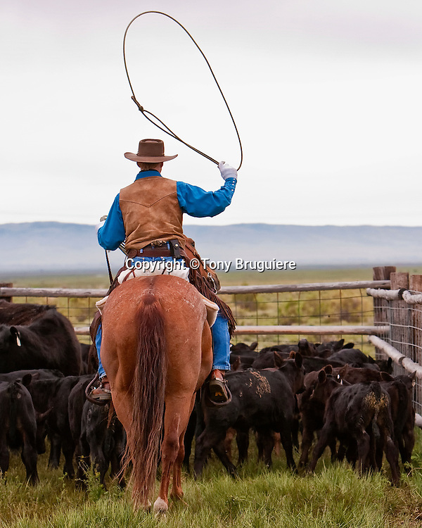 The rope or lariat is the cowboys most effective working tool when it comes to controlling cattle. Randy Svalina swings his loop preparing to catch a calf for branding.