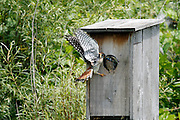 male American Kestrel feeding juveniles