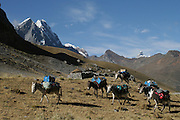 Donkeys in the Cordillera Huayhuash Range - Peru - South America