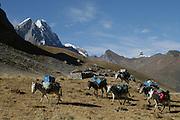 Donkeys in the Cordillera Huayhuash Range - Peru - South America