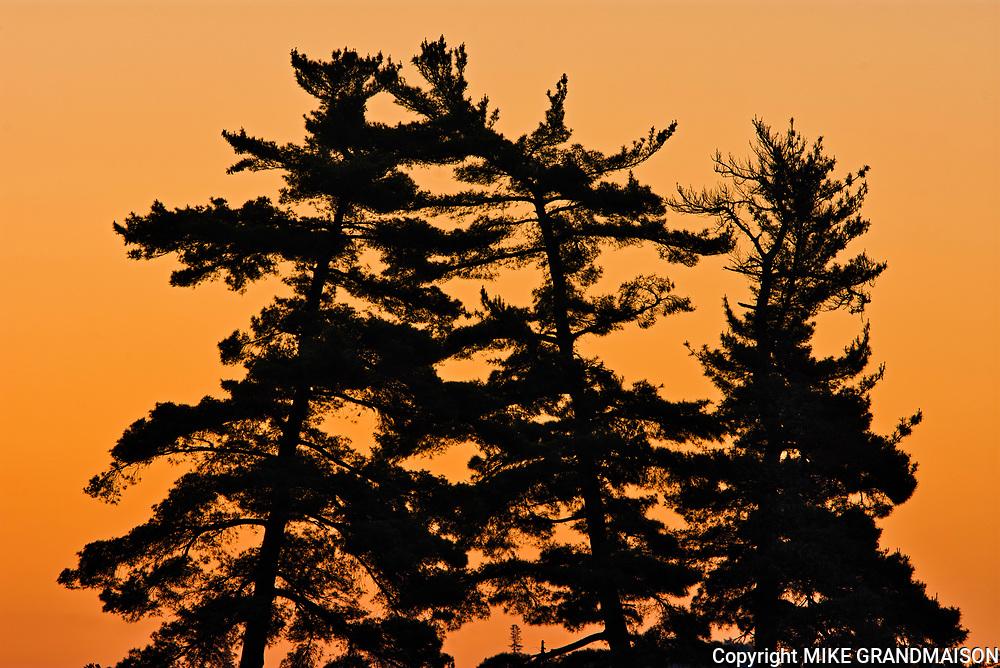 White pines (Pinus strobus) at sunrise<br />Nestor Falls<br />Ontario<br />Canada