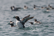A Guillemot flaps its wings in the waters that surround Skomer Island, Wales, U.K.