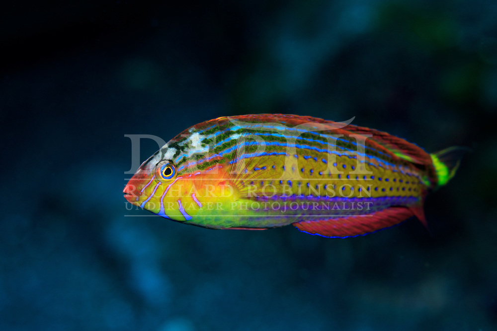 Suezichthys arquatus (Rainbowfish)Terminal phase. <br /> Tuesday 06 October 2015.<br /> Photograph Richard Robinson &copy; 2015.<br /> Dive Number: 763.<br /> Site: South Meyer Island, Raoul Island, Kermadec Islands, New Zealand.<br /> Dive Buddy: Steve Hathaway and Charles Bedford.<br /> Boat: Braveheart.<br /> Temperature: 19 degrees.<br /> Rebreather : Inspiration Vision. Total Time On Unit: 369:27.<br /> Maximum Depth: 24.2 meters.<br /> Bottom Time: 94 minutes.<br /> Bottom Time to Date: 42,589 minutes.<br /> Cumulative Time: 42,683 minutes.