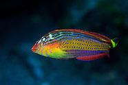 Suezichthys arquatus (Rainbow Wrasse) Terminal Phase Male