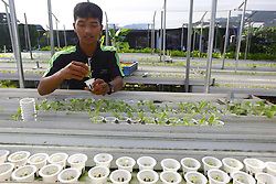 April 27, 2018 - Bogor, West Java, Indonesia - Indonesian workers plant vegetable seeds with hydroponics media at Villa Tajur Bogor, West Java, Indonesia. Various kinds of vegetables such as lettuce, spinach, mustard greens, pakcoy and kailan are grown hydroponically in the place besides can be picked directly by the buyer is also marketed to a number of hotels and supermarkets. (Credit Image: © Adriana Adinandra/Pacific Press via ZUMA Wire)