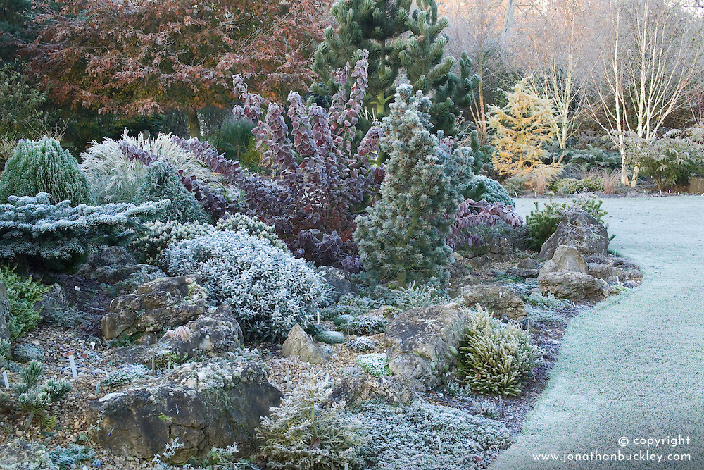 Conifers on the rock garden on a frosty winter's morning. Design: John Massey, Ashwood Nurseries