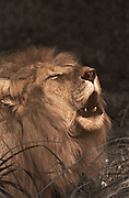 Image of a male lion (Panthera leo) moaning (toned black & white conversion)