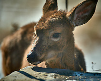 Young, sickly looking deer on my patio. Image taken with a Nikon D5 camera and 600 mm f/4 VR lens (ISO 110, 600 mm, f/4, 1/1250 sec).
