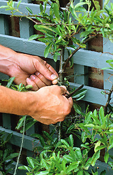 Tying in a wall shrub to a blue painted trellis with garden twine - pyracantha